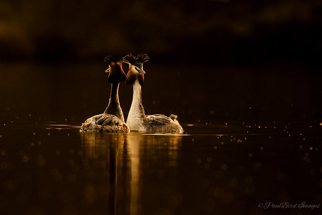 Grebes in the golden hour.