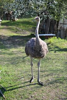 ostrich | by walmarc04