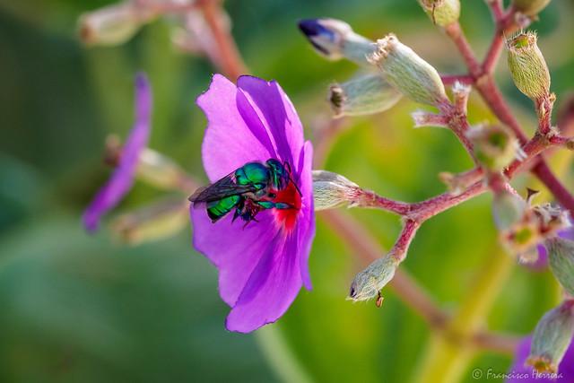 Green orchid bee (Euglossa dilemma) nectaring on a Purple Glory Tree flower (Tibouchina grandifolia)