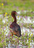 White-faced Ibis in Flowers