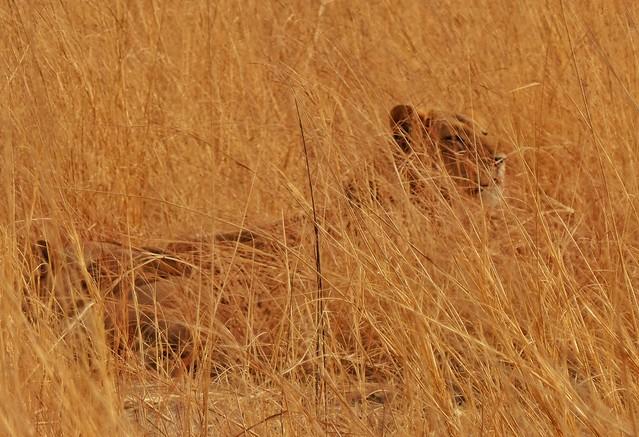 León en el Parque de Pendjari (Benín)