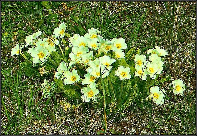 Primula vulgaris.....