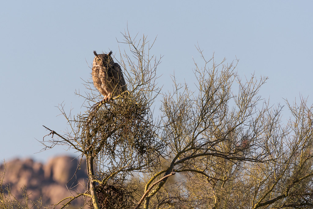 A great horned owl perches in a palo verde near the Latigo Trail in McDowell Sonoran Preserve in Scottsdale, Arizona