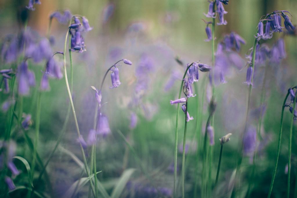 bluebells-3
