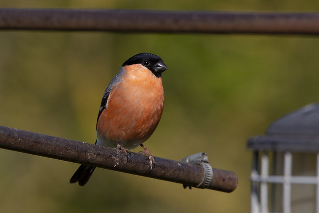 Bullfinch [Explored, thanks]