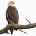 Bald Eagle on a Perch by Mark Schocken