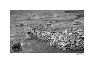 Ewe and Lamb St Kilda_L7Q0270