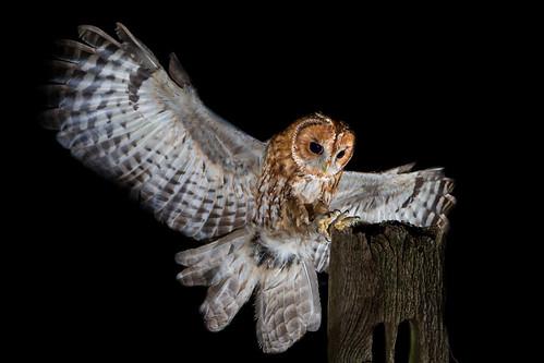 Tawny Owl | by PINNACLE PHOTO