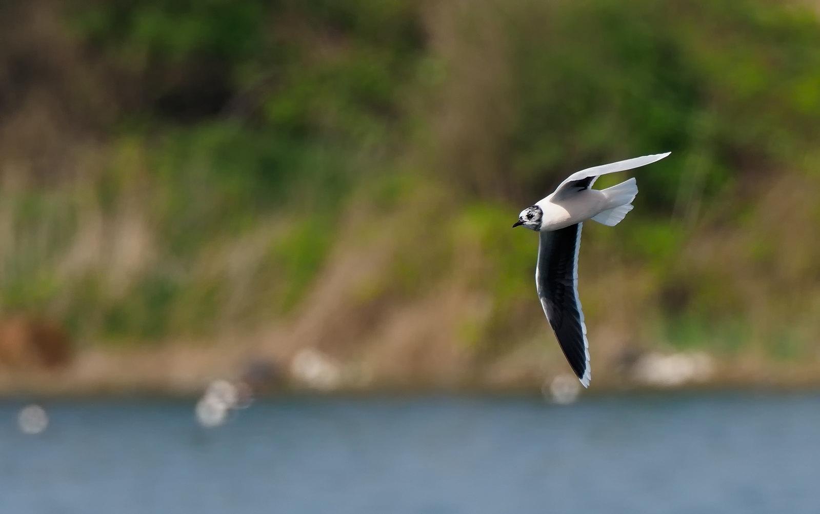 Little Gull [ Hydrocoloeus minutus ]