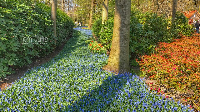 River of Grape Hyacinths, Keukenhof Garden, Netherlands - 2467