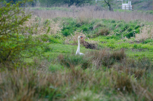 Careful look around: swan, Doxey