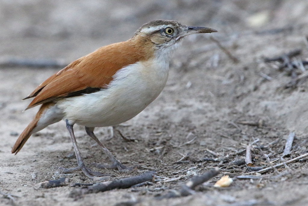Pale-legged Hornero, Bosque Frejolillo, Peru October 2018