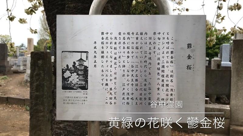 谷中霊園のウコンザクラ