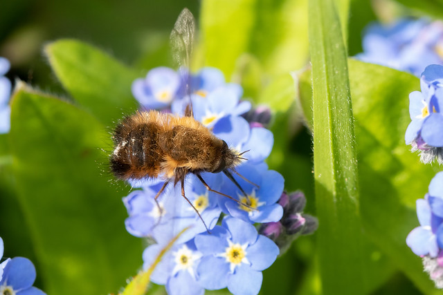 Dotted bee-fly in the garden!