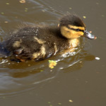 Very small duck