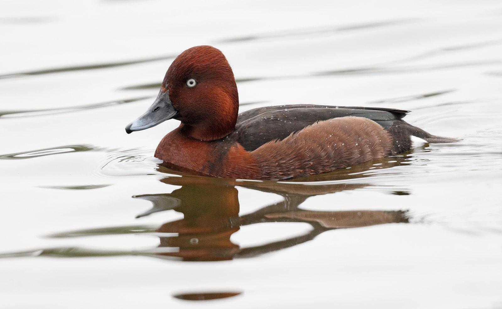 Ferruginous Duck drake