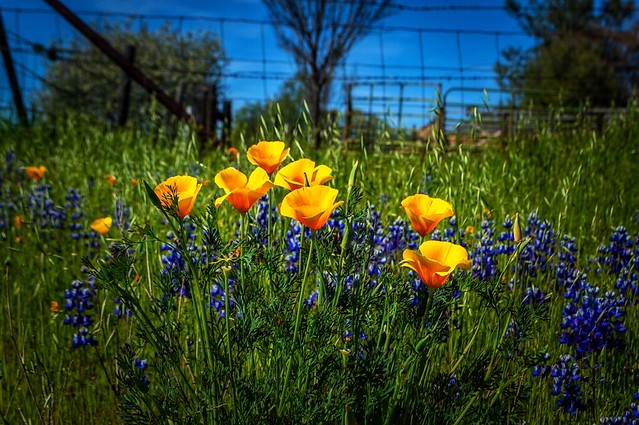 Poppies and Lupines at the Ranch