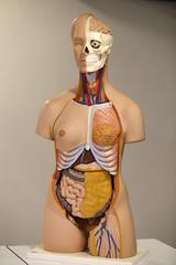 Prof. Dr. Nurettin Ali BERKOL Anatomi Maket Laboratuvarı 10