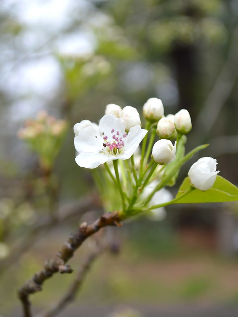 Flowering Pear First Flower