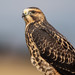Red-Tailed Hawk by Gf220warbler