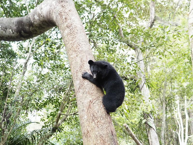 小熊上樹訓練中。台灣黑熊保育協會提供