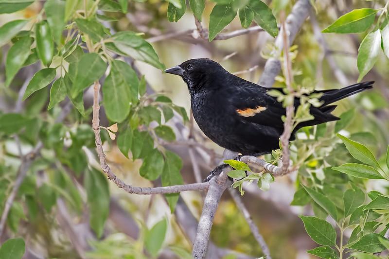 Red-winged-Blackbird-27-7D2-041319