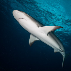 Caribbean Reef Shark Above II