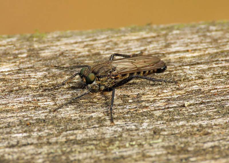 Spring Heath Robberfly - Lasiopogon cinctus