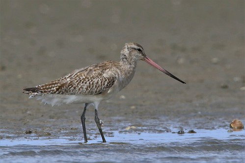 Kuaka - Bar-tailed godwit - Limosa lapponica | by Steve Attwood