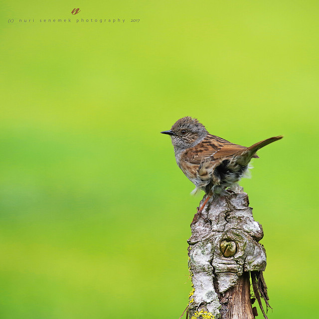 hedge accentor / dunnock