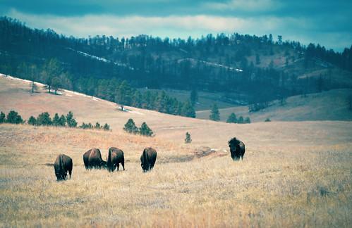bison buffalo black hills field prairie landscape travel custer state park south dakota nikon d610 rwgrennan ryan grennan rgrennan light sd outdoors nature american wildlife loop wild tatonka