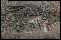 Brown Falcon: The Supreme Hunter