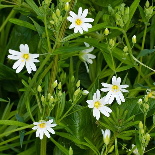 Greater stitchwort flowers among stickweed