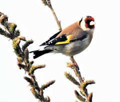 Goldfinch - Cresswell Pond Pathway