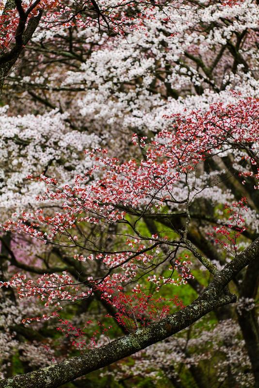 紅葉桜(Crimson leaf cherry)