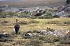 Denham's bustard, Piaya Serengeti, Tanzania by inyathi