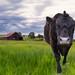 Farm Cow by ShutterJack