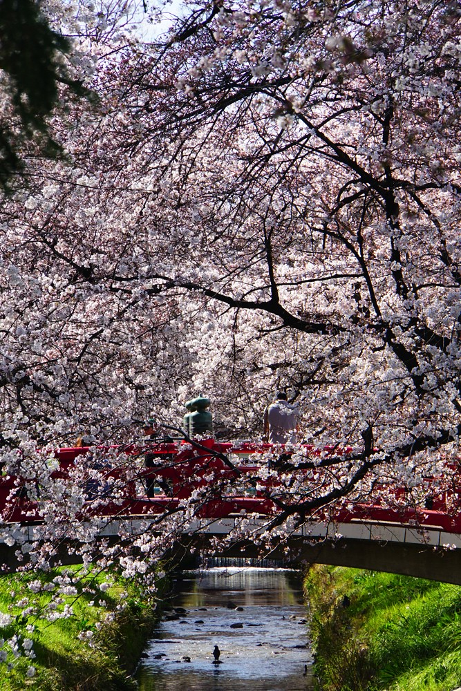 桜圧縮効果