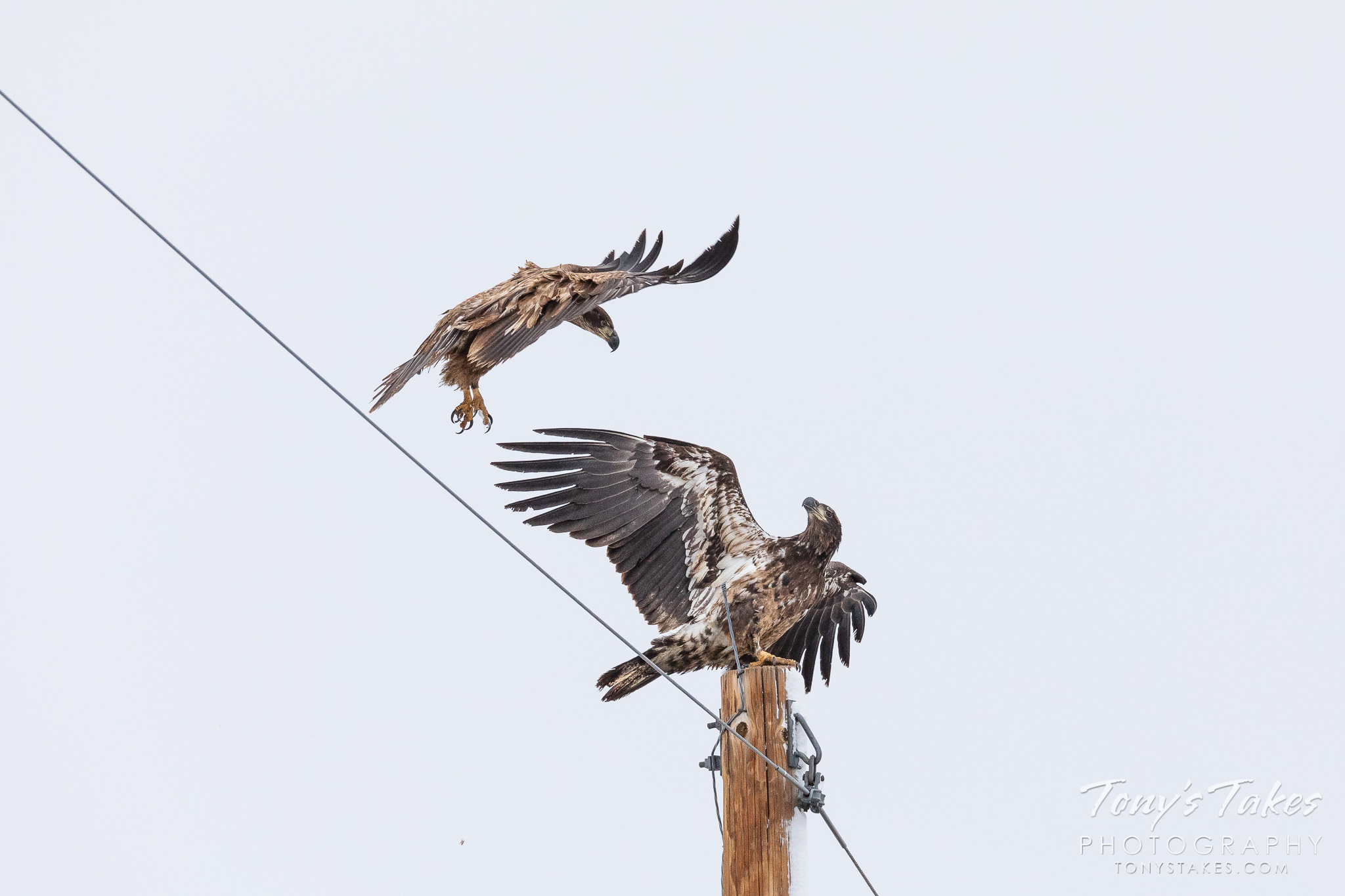 Juvenile bald eagles fight over a pole perch. (© Tony's Takes)
