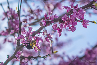 Red Bud Blossoms & A Bee