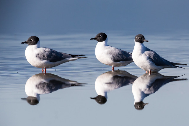 Bonaparte's Gulls (explored on 4/25/2019)