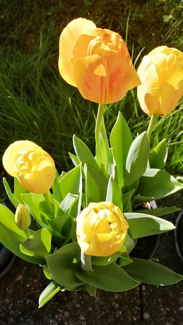 tulip bubble chez moi