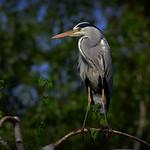 Grey Heron - Buckinghamshire