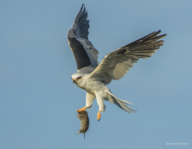 White-tailed Kite and gopher