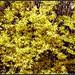 Forsythia bush | Кущ форзитії