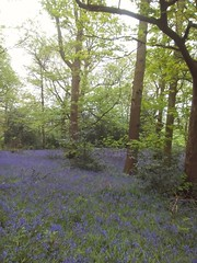More Bluebells in the lickeys