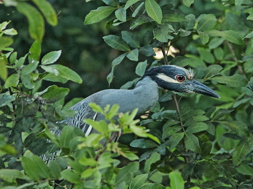 Yellow-crowned Night-Heron sub-adult 20190416