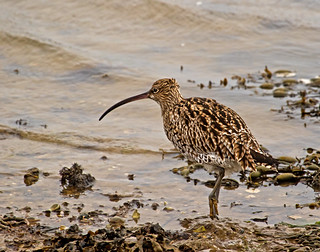 Curlew searching for food