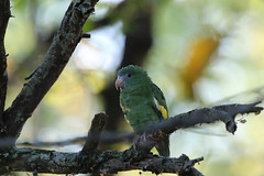 White-winged Parakeet, Bosque Yanahuanca, Peru October 2018