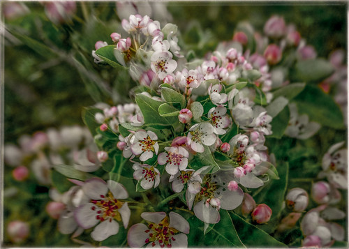 apple blossom bliss